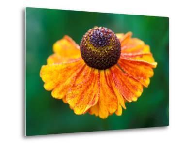 """Helenium """"Sahins Early Flowerer""""-Lynn Keddie-Metal Print"""