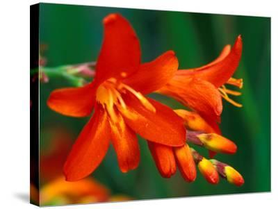 "Crocosmia ""Walberton Red,"" Close-up of Red Flower Heads-Lynn Keddie-Stretched Canvas Print"