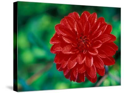 """Dahlia """"Murdoch"""" Close-up of Red Flower Head-Lynn Keddie-Stretched Canvas Print"""