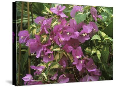 """Bougainvillea """"Turkish Delight"""" Close-up of Flowers-Michele Lamontagne-Stretched Canvas Print"""