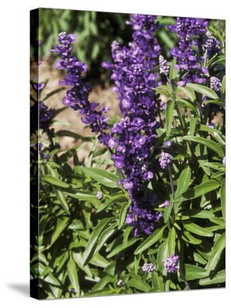 Salvia Farinacea (Mealy-Cup Sage) in Flower-Michele Lamontagne-Stretched Canvas Print