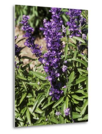 Salvia Farinacea (Mealy-Cup Sage) in Flower-Michele Lamontagne-Metal Print