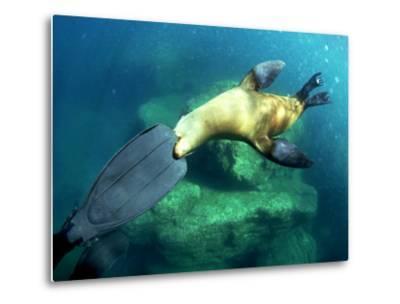 Diver Playing with Californian Sea Lion, Mexico-Tobias Bernhard-Metal Print