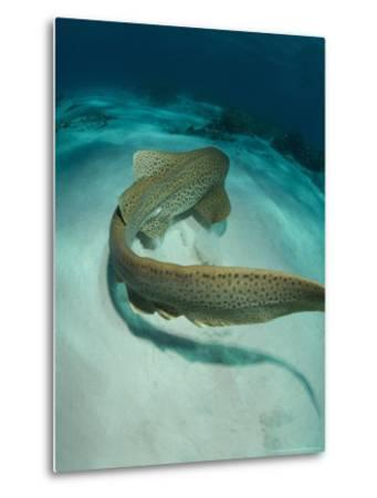 Leopard Shark, Swimming Away Over Sand Bottom with Coral Rubble, New Caledonia-Tobias Bernhard-Metal Print