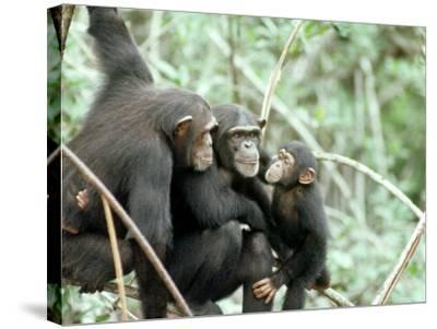 Chimpanzees, Chimp Family, W. Africa-Mike Birkhead-Stretched Canvas Print