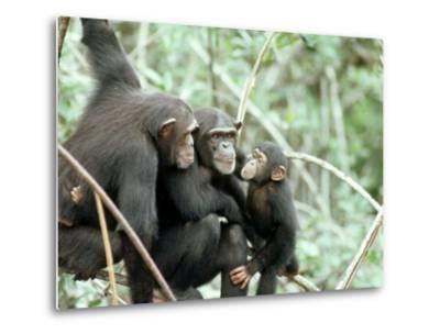 Chimpanzees, Chimp Family, W. Africa-Mike Birkhead-Metal Print