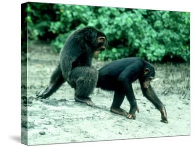 Common Chimpanzee, Mating, Africa-Clive Bromhall-Stretched Canvas Print