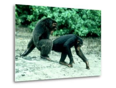 Common Chimpanzee, Mating, Africa-Clive Bromhall-Metal Print