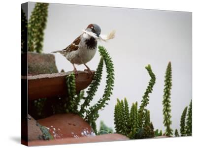 House Sparrow, with Nesting Material, Spain-Olaf Broders-Stretched Canvas Print