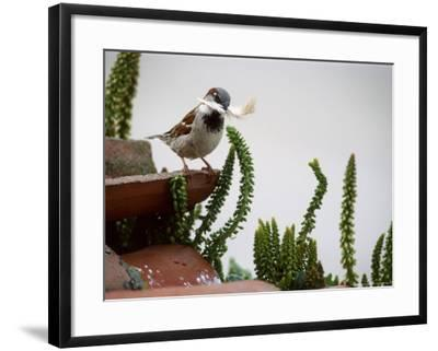 House Sparrow, with Nesting Material, Spain-Olaf Broders-Framed Premium Photographic Print