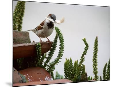 House Sparrow, with Nesting Material, Spain-Olaf Broders-Mounted Premium Photographic Print