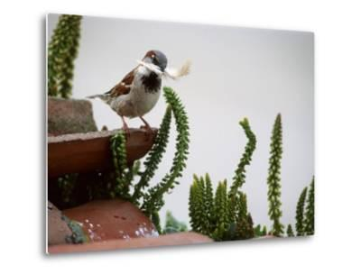 House Sparrow, with Nesting Material, Spain-Olaf Broders-Metal Print