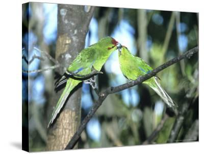 Red-Crowned Parakeet, Pair, N.Zealand-Robin Bush-Stretched Canvas Print