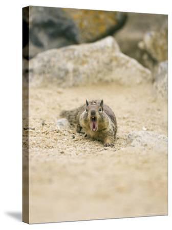 Beecheys Ground Squirrel, Yawning, California, USA-David Courtenay-Stretched Canvas Print