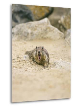 Beecheys Ground Squirrel, Yawning, California, USA-David Courtenay-Metal Print