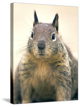 Beecheys Ground Squirrel, Close up Portrait, California, USA-David Courtenay-Stretched Canvas Print