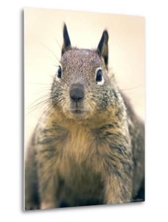 Beecheys Ground Squirrel, Close up Portrait, California, USA-David Courtenay-Metal Print
