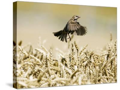 Sparrow, Flying Over Wheat Field, Switzerland-David Courtenay-Stretched Canvas Print