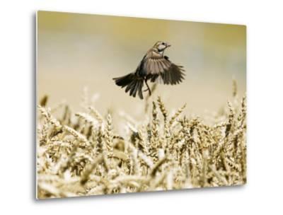 Sparrow, Flying Over Wheat Field, Switzerland-David Courtenay-Metal Print