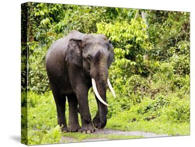 Asian Elephant, Male Walking on Track, Assam, India-David Courtenay-Stretched Canvas Print