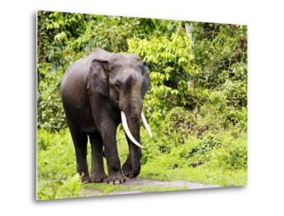 Asian Elephant, Male Walking on Track, Assam, India-David Courtenay-Metal Print