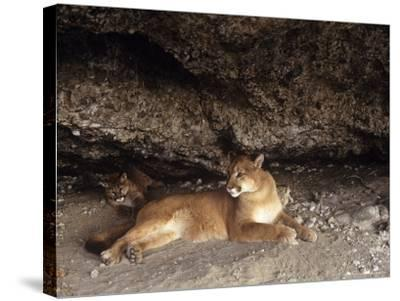 Mountain Lion, Adult and Young Cub in Den, Rocky Mountains-Daniel J. Cox-Stretched Canvas Print