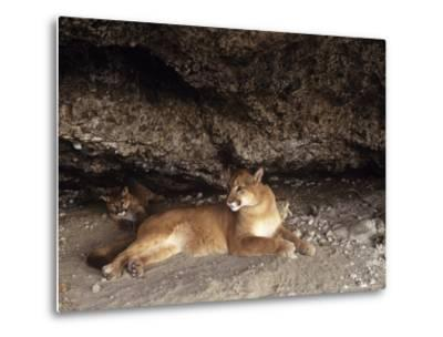 Mountain Lion, Adult and Young Cub in Den, Rocky Mountains-Daniel J. Cox-Metal Print