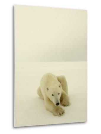 Polar Bear, a Male Wandering at Cape Churchill on the Shores of Hudson Bay, Near Churchill, Canada-Daniel J. Cox-Metal Print