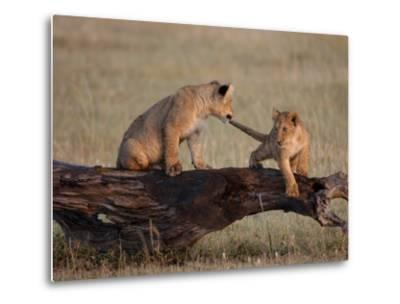 African Lion, Cubs Playing on Log, Kenya, Africa-Daniel J. Cox-Metal Print