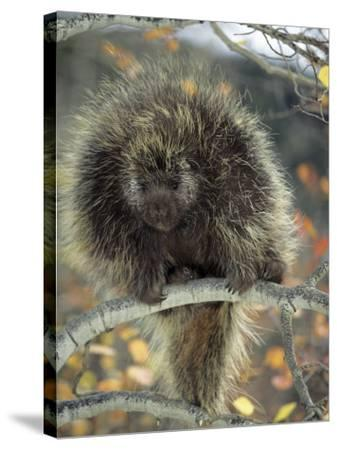 Porcupine in Aspen Tree in Autumn-Daniel J. Cox-Stretched Canvas Print