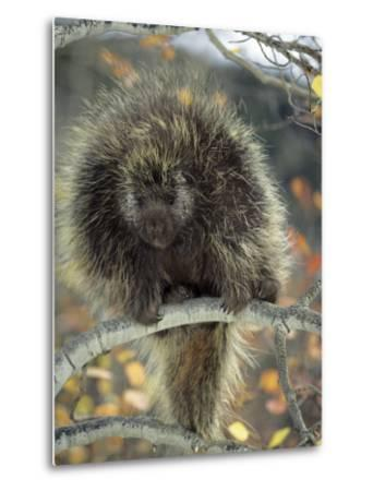 Porcupine in Aspen Tree in Autumn-Daniel J. Cox-Metal Print