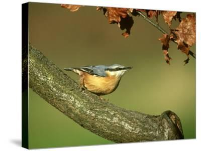 Nuthatch, Sitta Europaea Perched on Log in Autumn UK-Mark Hamblin-Stretched Canvas Print