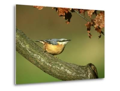 Nuthatch, Sitta Europaea Perched on Log in Autumn UK-Mark Hamblin-Metal Print