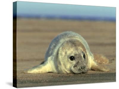 Grey Seal, Pup, UK-Mark Hamblin-Stretched Canvas Print
