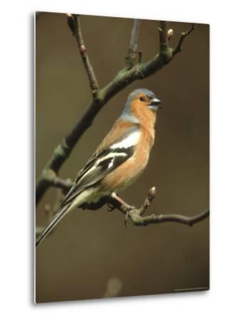 Chaffinch, Fringilla Coelebs Male Singing from Small Branch, S. Yorks-Mark Hamblin-Metal Print