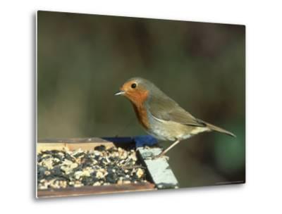 Robin, Feeding on Table, UK-Mark Hamblin-Metal Print
