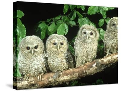Tawny Owl, Strix Aluco Three Owlets Perched on Branch, W. Yorks-Mark Hamblin-Stretched Canvas Print
