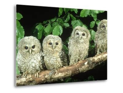 Tawny Owl, Strix Aluco Three Owlets Perched on Branch, W. Yorks-Mark Hamblin-Metal Print