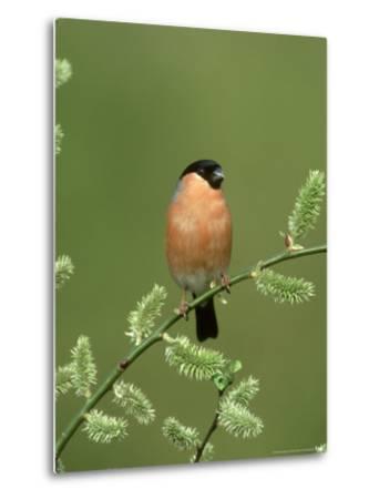 Bullfinch, Pyrrhula Pyrrhula Male on Willow Yorkshire, UK-Mark Hamblin-Metal Print