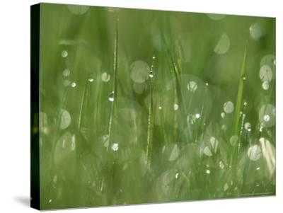 Water Droplets on Grass, Close-up Detail Yorkshire, UK-Mark Hamblin-Stretched Canvas Print