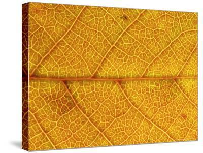 Close-up of Leaf Showing Vein Structure and Autumn Colour, Scotland-Mark Hamblin-Stretched Canvas Print
