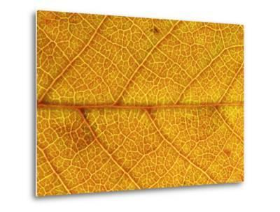Close-up of Leaf Showing Vein Structure and Autumn Colour, Scotland-Mark Hamblin-Metal Print
