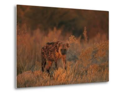Spotted Hyena, Adult in Dawn Light, Southern Africa-Mark Hamblin-Metal Print