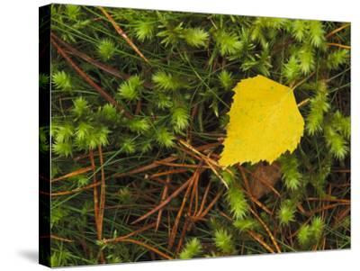 Silver Birch Leaf Close up on the Forest Floor, UK-Mark Hamblin-Stretched Canvas Print