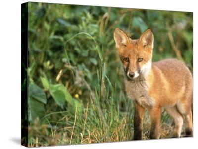 Red Fox, UK-Mark Hamblin-Stretched Canvas Print