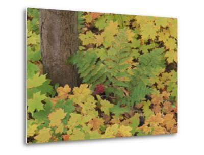 Autumn Colour. Variety of Maples (Acer Sp.), Michigan Upper Peninsula, USA-Mark Hamblin-Metal Print