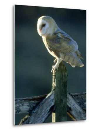 Barn Owl-Mark Hamblin-Metal Print