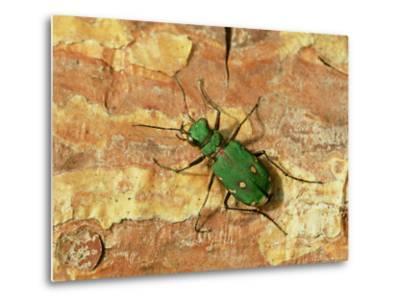 Green Tiger Beetle, Adult on Pine Bark, Scotland-Mark Hamblin-Metal Print