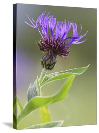 Cornflower, Close up of Flower Head, Scotland-Mark Hamblin-Stretched Canvas Print
