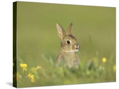 Rabbit, Youngster Emerging from Burrow in Field of Buttercups, Scotland-Mark Hamblin-Stretched Canvas Print